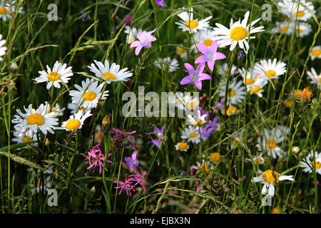 Ox-eye daisy, oxeye daisy - Stock Photo