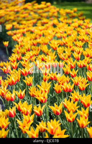 Yellow and red Lily flowering tulip Synaeda King - Stock Photo