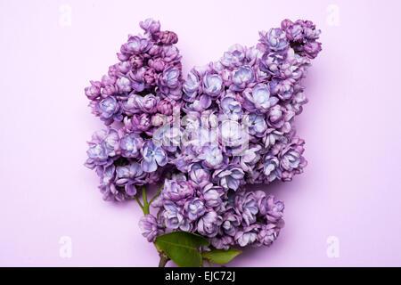 Double Lilac (Syringa vulgaris) Alice Christiansen - Stock Photo