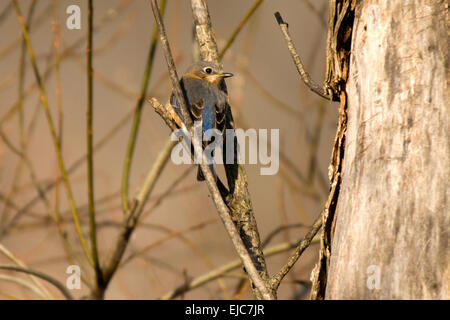A bluebird sits perched on a broken tree branch in central Indiana. - Stock Photo