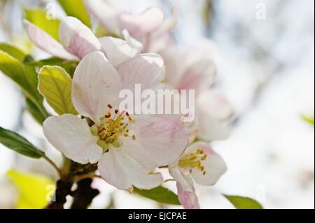 Spring Time Peach Blossom Close Up - Stock Photo