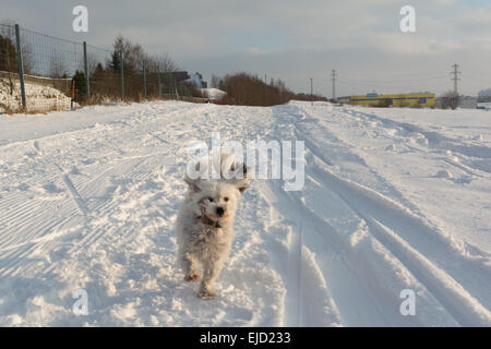 White dog running in the snow - Stock Photo