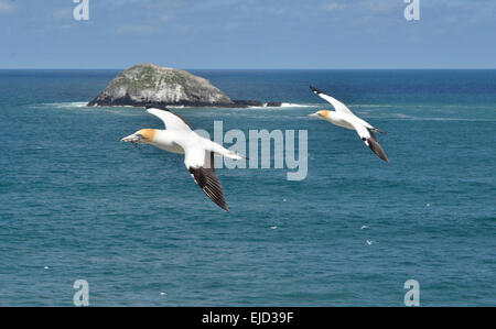 2 Gannets in flight at Muriwai, North Island, New Zealand - Stock Photo