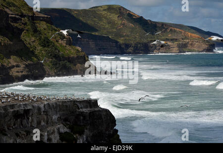 Gannets in flight at Muriwai, North Island, New Zealand - Stock Photo