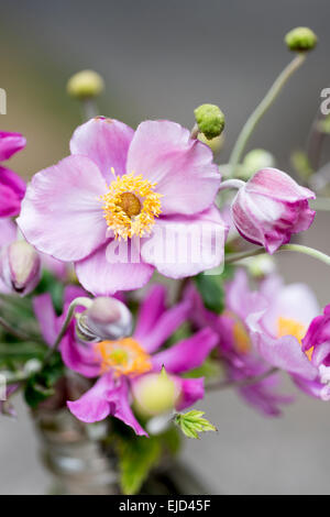 Japanese anemone, Windflower, Anemone hupehensis var. japonica 'Pamina' - Stock Photo
