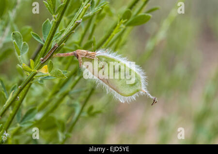 Fruits of Common broom, Cytisus scoparius. Photo taken in Guadarrama Mountains, Colmenar Viejo, Madrid, Spain - Stock Photo
