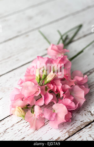 Sweet Pea (Lathyrus odoratus) Winter Sunshine Pink - Stock Photo