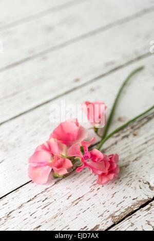 Sweet Pea (Lathyrus odoratus) Sylvia Mary - Stock Photo