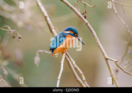 A Kingfisher patiently waits on her perch for a fish. - Stock Photo