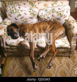 ... Great Dane Lying On Small Sofa   Stock Photo