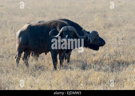 Two Cape Buffalo (Syncerus caffer) standing together on savanna, Ngorongoro National Park, Tanzania - Stock Photo