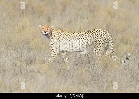 Cheetah (Acinonyx jubatus) walking on savanna, looking at the camera, Serengeti national park, Tanzania. - Stock Photo