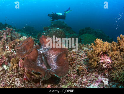Scuba diver hovers over red giant clam. Spratly Islands, South China Sea. July, 2014. - Stock Photo