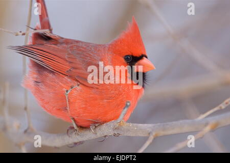 Northern Cardinal, Cardinalis cardinalis, male, in winter, perched with red plumage all puffed up - Stock Photo