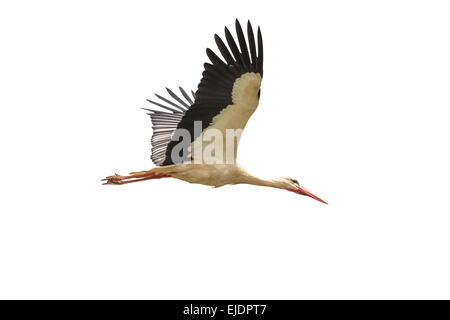 White stork in flight on a white background - Ciconia ciconia - Stock Photo