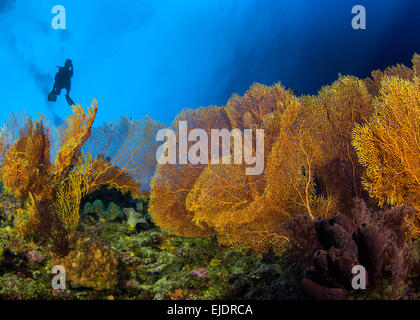 Scuba diver in silhouette ascends over colony of large golden sea fans. Spratly Islands, South China Sea. - Stock Photo