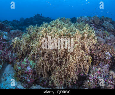 Long fingers of leather coral wavering in ocean surge. Spratly Islands, South China Sea. - Stock Photo