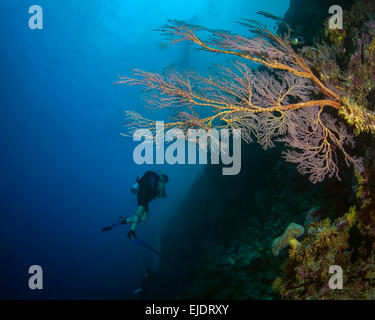 Pink sea fan growing on steep wall with scuba diver in blue water background. Spratly Islands, South China Sea - Stock Photo