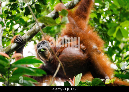 A Sumatran orangutan (Pongo abelii) mother and child. - Stock Photo
