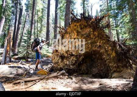 A young man walks by remnants of a powerful windstorm along the John Muir Trail in Tuolumne Meadows, California. - Stock Photo