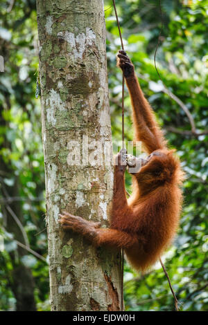 A child Sumatran orangutan (Pongo abelii) climbs a vine in Gunung Leuser National Park in Northern Sumatra. - Stock Photo