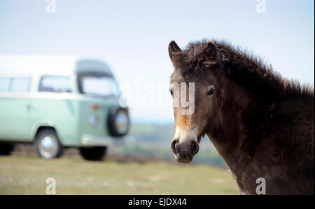 Volkswagen Camper bus on Ashdown Forest with local ponies in East Sussex UK. - Stock Photo
