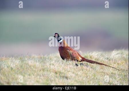 Calling  Common Pheasant - Stock Photo