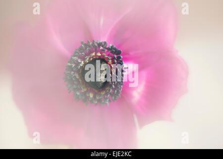Pink Purple Anemone flower in bright sunlight - Stock Photo