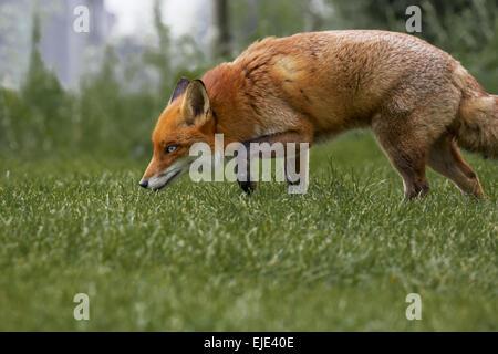 British Red Fox - Stock Photo
