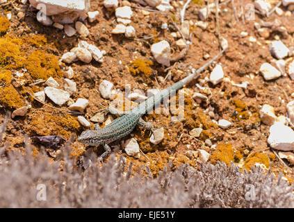 Ibiza wall lizard (Podarcis pityusensis), Formentera Balearic Islands Spain - Stock Photo
