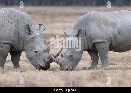 rhino in the national park Lake Nakuru in Kenya - Stock Photo