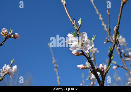 Plum blossoms with blue sky background. Natures beautiful image of springtime blooms and buds. - Stock Photo