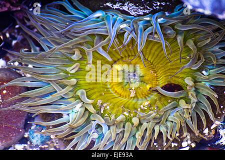 Anemone in Tidal Pool - Stock Photo
