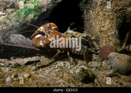 Signal crayfish (Pacifastacus leniusculus) in a mussel field, River Traun, Styria, Austria - Stock Photo