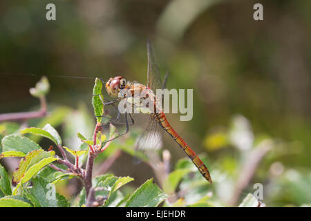 Common Darter Dragonfly; Sympetrum striolatum Single Male; Cornwall; UK - Stock Photo
