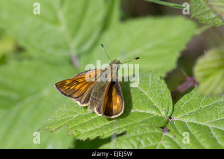 Large Skipper Butterfly; Ochlodes venatus Single on Leaf; Cumbria; UK - Stock Photo