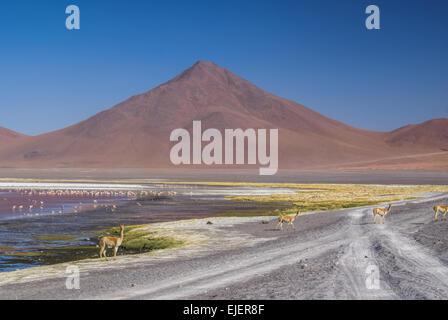 Llamas on the road and Flamingo birds in red lake in bolivian desert near Salar de Uyuni - Stock Photo