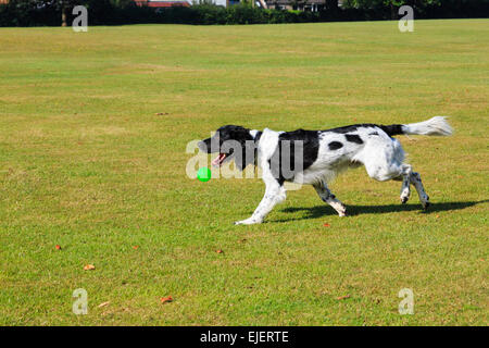 An adult Black and White English Springer Spaniel pet dog playing with a ball dropping from its mouth in a park. - Stock Photo
