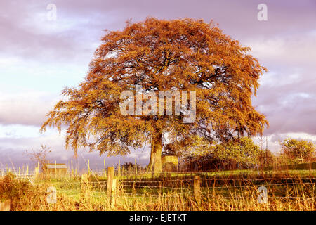 A mature Beech (Fagus) tree in the autumn or fall with brown leaves - Stock Photo