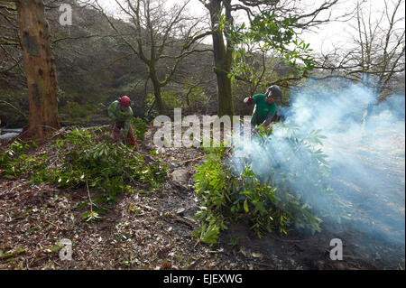 Rhododendron clearing on the river Avon north of South Brent , - Stock Photo