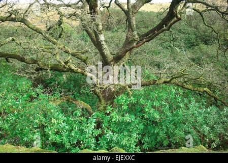 Rhododendron clearing on the river Avon north of South Brent ,  Dartmoor National Park  Devon England - Stock Photo