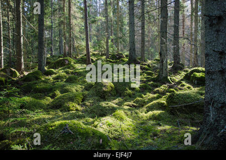 Mossy stones and tree trunks in a coniferous forest in the Swedish province Smaland - Stock Photo