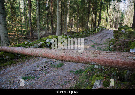 Obstacle in form of a fallen pine tree across a dirt road in the woods. From the province Smaland in Sweden. - Stock Photo