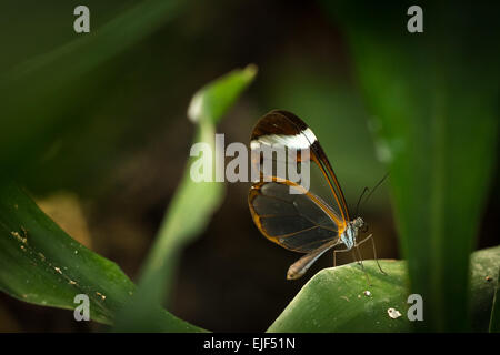 A brush-footed, Glasswinged butterfly hidden deep down the vegetation. Only a speck of light falls onto the butterfly - Stock Photo