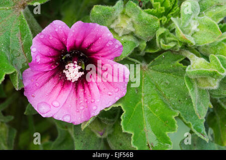 Tree mallow (Lavatera arborea / Malva arborea / Malva eriocalyx) in flower - Stock Photo