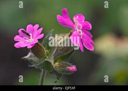 Red campion (Silene dioica / Melandrium rubrum / Lychnis diurna) in flower - Stock Photo