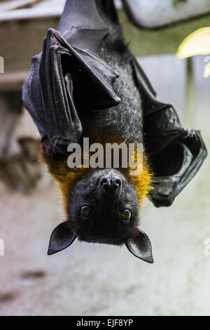 Indian flying fox hanging upside down. - Stock Photo