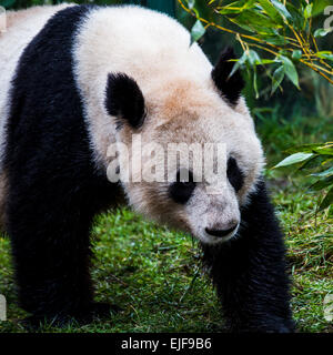 Giant panda bear. - Stock Photo