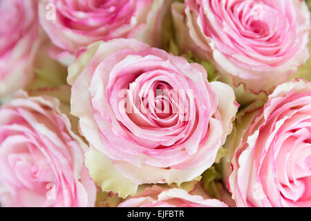 Lace-edged attractive two tone blooms of pastel pink roses edged in cream,  elegant bouquet style floral arrangement - Stock Photo