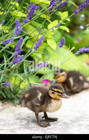 Cute fluffy newly hatched Mallard ducklings, Anas platyrhynchos, in England - Stock Photo